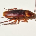 German Cockroach
